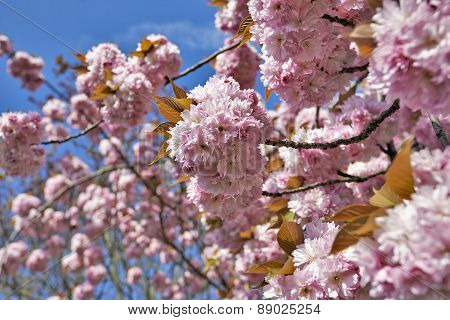 Japanese Cherry Tree Blossom