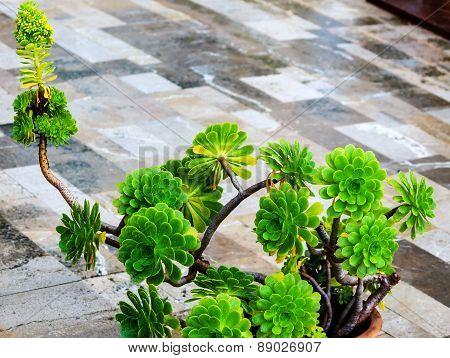 Aeonium decorum plant (succulent)