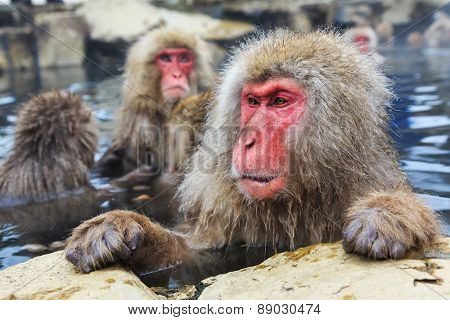 Snow Monkeys, Japan