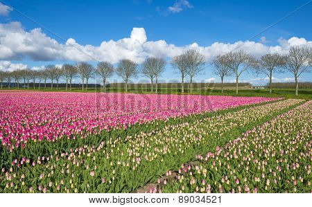 Tulips on a field in spring under a blue cloudy sky