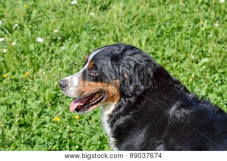 Bernese Mountain Dog In The Grass