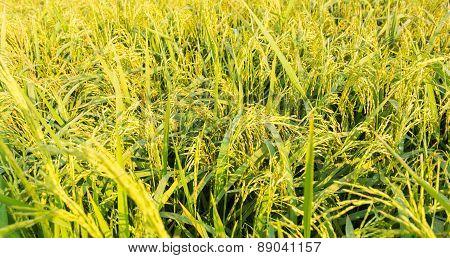Close Up Rice Field