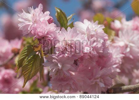 Closeup Of Blooming Sakura