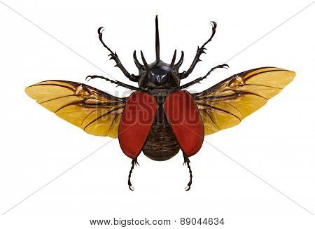 flying rhinoceros beetle isolated on white background