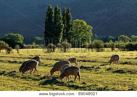 Rural landscape with trees, pasture and grazing sheep in late afternoon light, Karoo region, South Africa