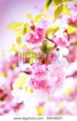 Blooming, blossom Japanese cherry