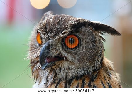 Portrait Of A Owl With Red Eyes