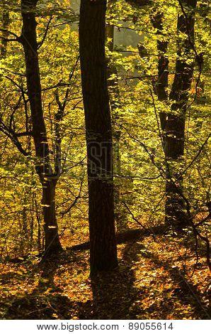 Golden forest light at autumn sunrise, Cemerno mountain