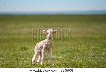 little lamb in green field