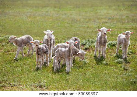 little lamb in green field