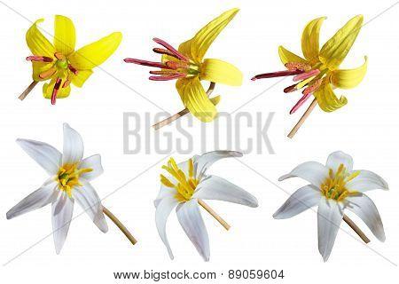 Trout Lily Set