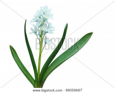 Puschkinia Scilloides Flower