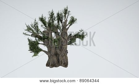 baobab tree isolated on white