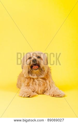 Little mixed breed dog with long hair on yellow background