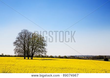 A field of yellow rape or canola flowers, grown for the rapeseed oil crop. Late spring in Hampshire,