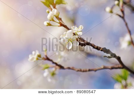 Cherry Branches With White Flowers