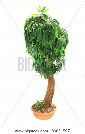 Mango Tree Isolated