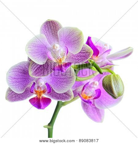 orchid on the white background