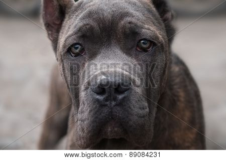 Dog Cane Corso Looks Directly Into The Camera