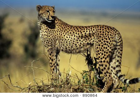 Cheetah On Hill