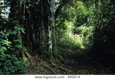 Strangler Fig Tree In Rainforest