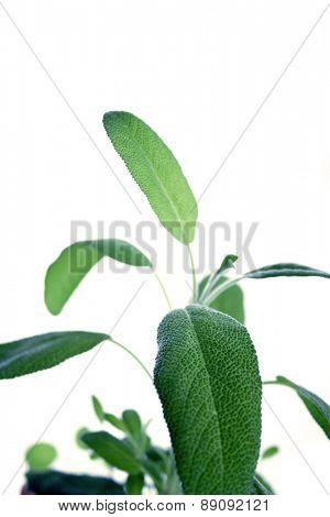 Closep of fresh sage on white background