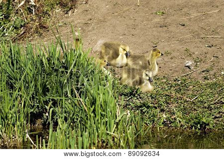 Goslings By The Grass.