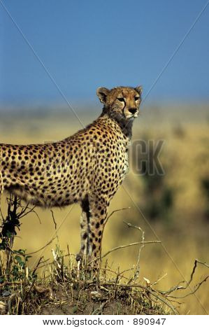 Gazing Cheetah On Hill