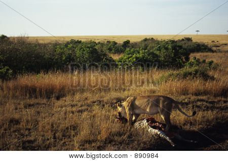 Lion Dragging Kill