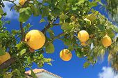 picture of tangerine-tree  - Ripe tangerines on a tree branch close - JPG