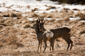 picture of roebuck  - male and female deer standing in a field - JPG