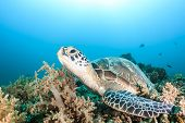 foto of green turtle  - Green Turtle on a tropical coral reef - JPG