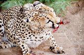 stock photo of cheetah  - Closeup of Rehabilitating Cheetah in Captivity - JPG