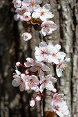 stock photo of white bark  - white cherry flowers in spring on tree bark background - JPG