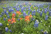 image of bluebonnets  - A low angle view of Indian Paintbrush and Bluebonnets wildflowers in a Texas field - JPG