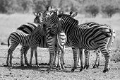 stock photo of herd  - Zebra herd in a black and white photo with heads together - JPG