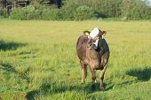 stock photo of hereford  - Grazing Herford cows on Dutch wadden island Terschelling - JPG