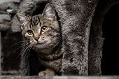 picture of tabby-cat  - Staring tabby cat - JPG