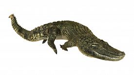 pic of alligator  - 3D digital render of an American alligator or Alligator mississippiensis isolated on white background - JPG