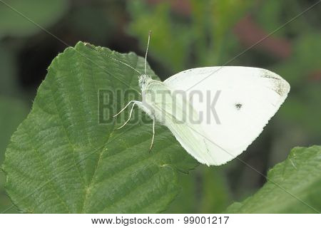 Small White Butterfly (Piers Rapae)