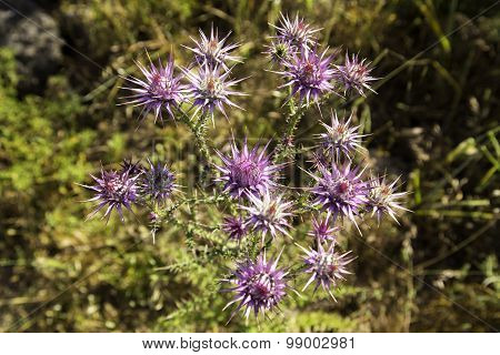 Wild Thorny Eryngo Flowers On A Field Closeup