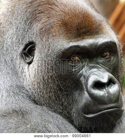 Large silverback gorilla head