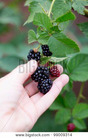 Harvest Blackberries On The Palm In The Garden. Soft Focus.