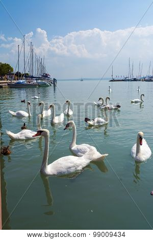 Mute Swans At Balatonfured