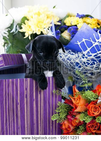 Beautiful Chihuahua dog in gift box and flowers