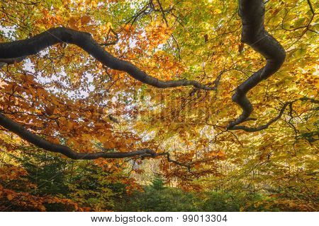 Majestic beech branches with orange leaves at autumn forest. Ideally as a background. Carpathians, Ukraine, Europe.