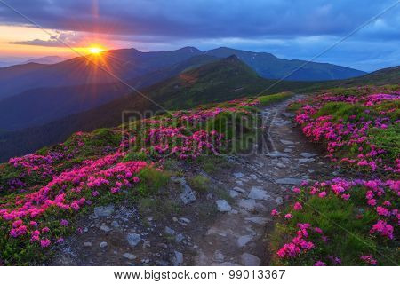 Magic pink rhododendron flowers on summer mountain. Dramatic sky and colorful sunset. Chornohora ridge, Carpathians, Ukraine, Europe.