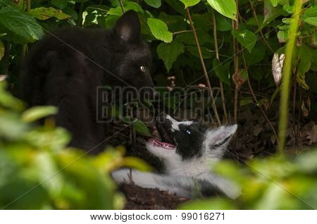 Young Silver Fox And Marble Fox (vulpes Vulpes) Play At Den