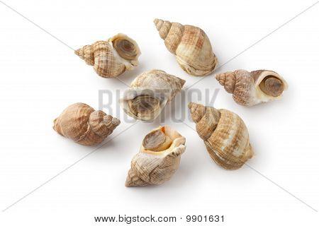 Whole fresh common whelk