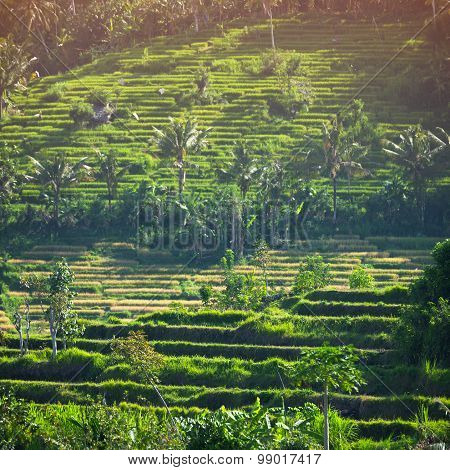 Rice Teraces, Interspersed With Coconut Palms, On An Asian Hillside Farm